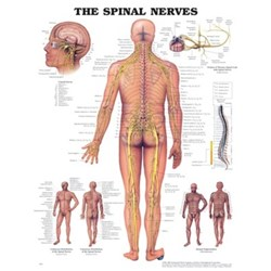 The Spinal Nerves Rigid Lamination