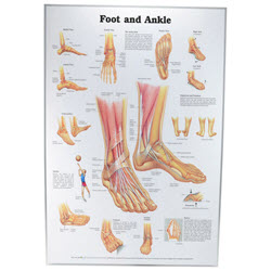 Foot & Ankle Chart Laminated