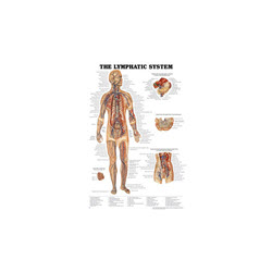The Lymphatic System Chart Laminated