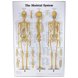 The Skeletal System Chart Laminated